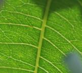 CSC_1091-leaf