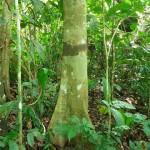 Dialium-excelsum-trunk