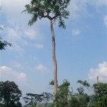 Nauclea tree of sub saharan africa