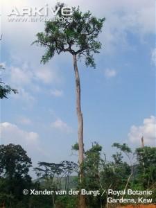 Nauclea tree of sub saharan africa