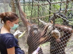 Dorothée Minne caring for an orangutan in Indonesia